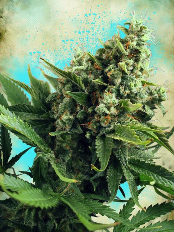 White Widow Auto Feminised Seeds from Ministry of Cannabis