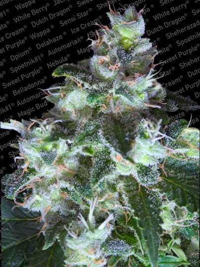 Original White Widow (IBL) Feminised Seeds from Paradise Seeds