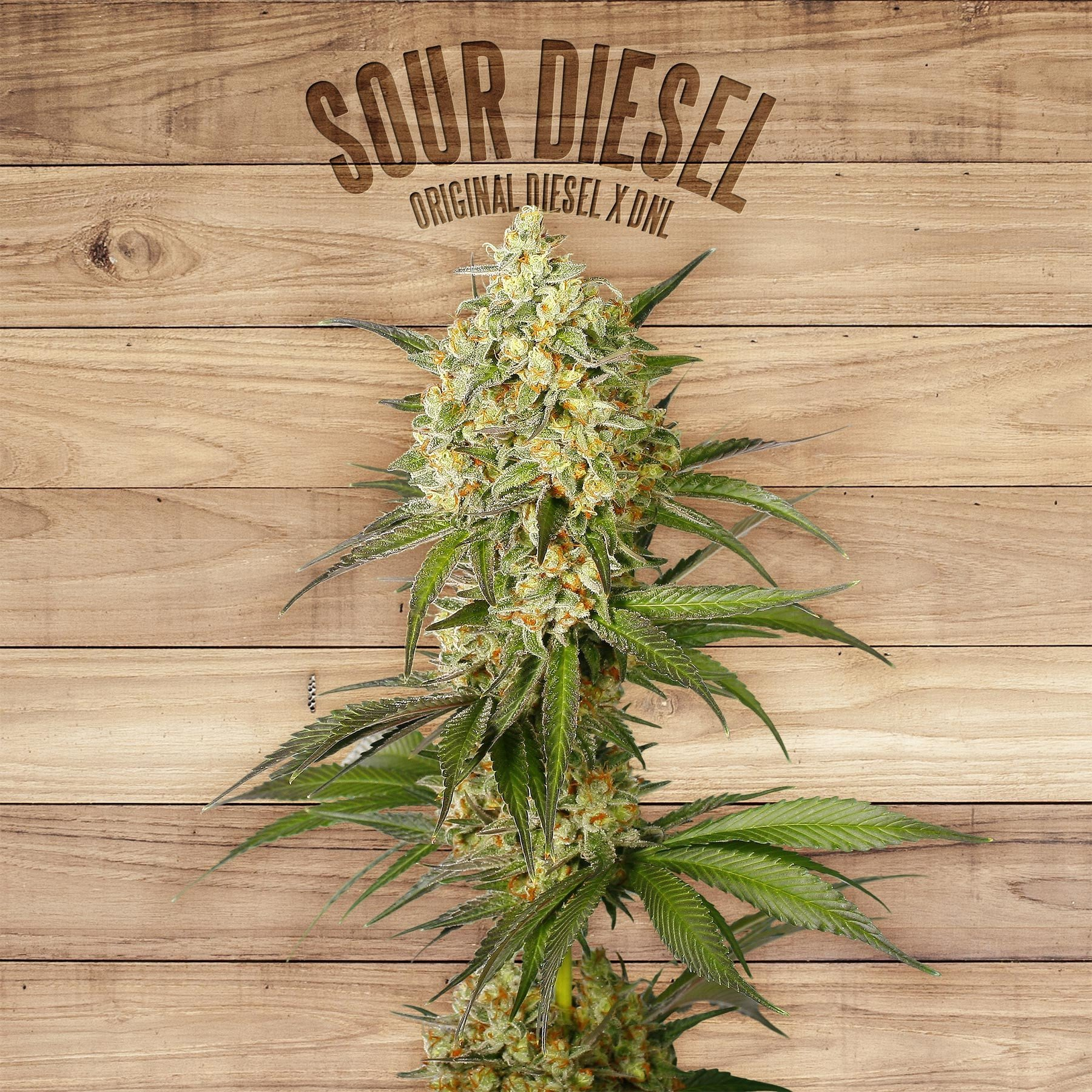Sour Diesel Feminised Seeds from The Plant