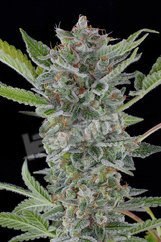 White Widow Auto Feminised Seeds from Dinafem Seeds