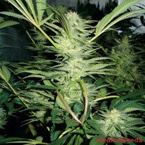 White Widow Feminised Seeds from Medical Seeds