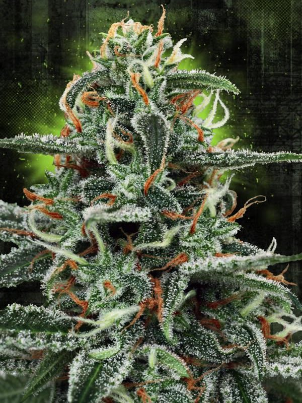 White Widow MOC Feminised Seeds from Ministry of Cannabis