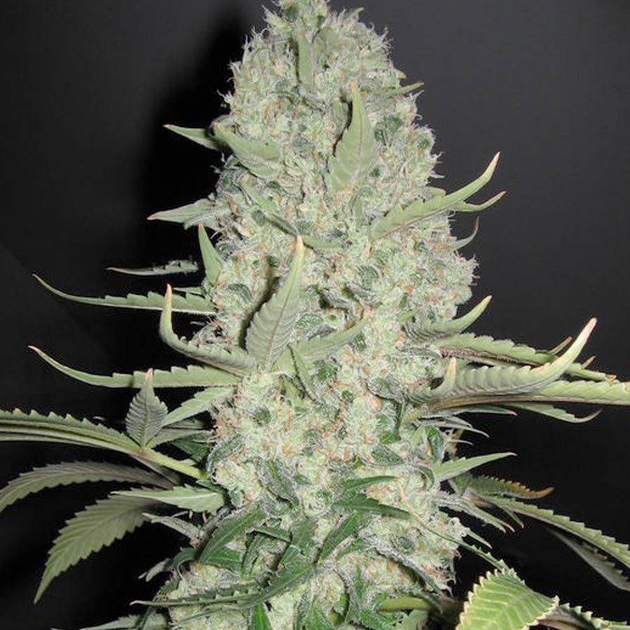 White Widow x Big Bud Feminised Seeds from Female Seeds